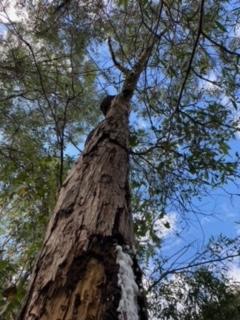Termite nest in tree Gold Coast